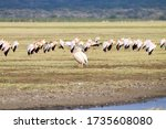 Great White Pelican With Flock...