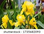 Light Yellow Flowering Irises...