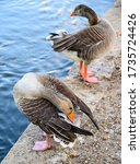 Two Greylag Geese By The Lake...