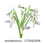 spring snowdrops isolated on... | Shutterstock . vector #173582096