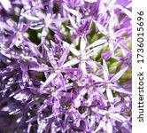 macro shot of purple ornamental ...