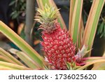 Red Pineapples Growing In The...