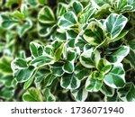 Leaves Of Mistletoe Fig Have...