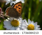 A Small Copper Butterfly...