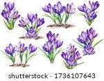 Purple Crocus Flowers On An...