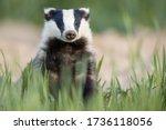 European Badger After Leaving...