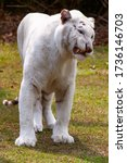Small photo of The white tiger or bleached tiger is a pigmentation variant of the Bengal tiger