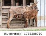 Donkey Foal Drinks. Donkey Wit...