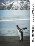 Small photo of King penguin squawking on beach beside mountains