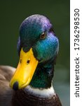 Close Up Of Male Mallard Head...
