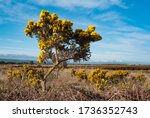 Gorse Bushes Growing In A Rural ...