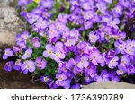 Aubretia Or Aubrieta Low...