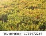 Thick Boxwood Plant Texture...