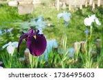 Blossoming Japanese Dark Violet ...