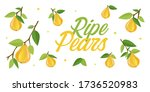 Ripe Yellow Pears On Branches...