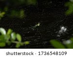 Venusta orchard spider / orchard orbweaver (Leucauge venusta) in the middle of a spiral orb web