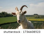 A Happy Goat Looking Directly...
