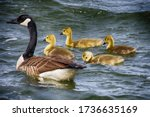 Baby And Adult Canada Geese...