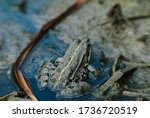 Grey Green Spotted Frog Sits I...