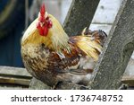 Portrait Of A Golden Rooster...