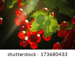 The Berries Of A Red Currant...