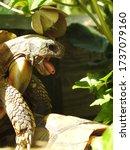 Mating Of Two Greek Turtles