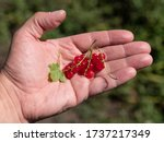 clusters of red currant berries ... | Shutterstock . vector #1737217349