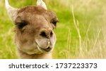 Profile Photo Of A Camel Taken...