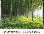 Rows Of Poplars In The...
