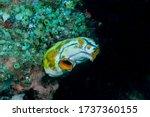 Ox heart ascidian, gold-mouth sea squirt or ink-spot sea squirt (Polycarpa aurata) Bali, Indonesia