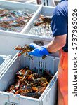 A Lobster Fisherman In Holing A ...