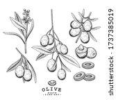 vector sketch olive decorative... | Shutterstock .eps vector #1737385019