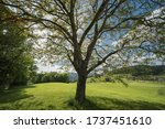 Nut Tree In The Nature