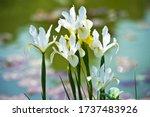 Colorful Irises Hollandica In...