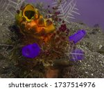 Ox heart ascidian, gold-mouth sea squirt or ink-spot sea squirt (Polycarpa aurata) and blue ascidians Bali, Indonesia