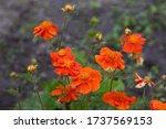 Orange Flower Of Geum Coccineum ...
