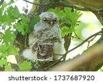 A Sleepy Tawny Owlet  Strix...