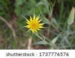 A Yellow Tragopogon Dubius...