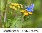 Common Blue Butterfly In Summe...