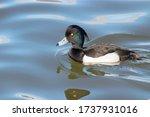 Tufted Duck Aythya Fuligula...