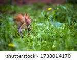 Red Squirrel In The Forest. A...