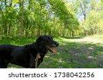 Black Labrador Retriever Dog On ...