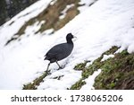 Cute Black Birds Walk In The...
