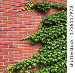 Small photo of Boston ivy Parthenocissus tricuspidata Virginia creeper walls draped in ivy stone walls covered in ivy