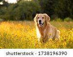 Golden Retriever In The Field...