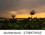 Lotus Flowers In Blooming And...
