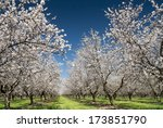 Almond Trees Blooming In...