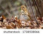 Cute Hermit Thrush Bird Close...