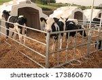 Row Of Calf Igloos On A Dairy...