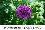 Purple Flowering Allium With...